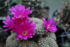 It's show time (Cvetomir Panayotov) Tags: cactus flowers sulcorebutia albissima