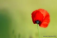 Sommerblume (grafenhans) Tags: sony alpha 68 a68 alpha68 slt tamron 2870200 mohnblüte mohn klatschmohn blüte blume bokeh grafenwald bottrop nrw natur pflanze