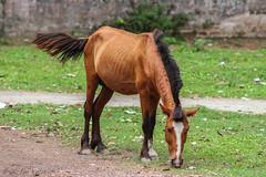 Horse (Galib Emon) Tags: horse bangladesh flickr animal outdoor colours explorebangladesh travel canoneos7d wildlife galibemon explore chittagong nature green