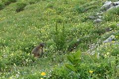 Engelberg, ein Tag in den Bergen heute. (tagewiedieser) Tags: berge alps alpen switzerland swiss schweiz engelberg blumenwiese flowers marmot murmeltier