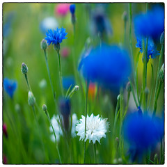 Before (Krogen) Tags: norge norway norwegen akershus romerike ullensaker jessheim krogen blomster flowers mitakonspeedmaster f095 panasoniclumixgx7