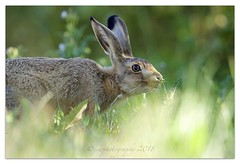 Brown Hare (cheffievrs) Tags: 1dxmarkii aperture3 borderfx brownhare canon crops ef600mmf4lisii european evening farm fullframe grassland lepuseuropaeus mammal notcropped wkwt