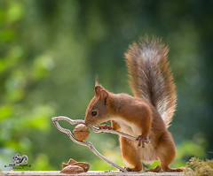 red squirrel is cracking a walnut (Geert Weggen) Tags: nutcracker squirrel dinner metal animal backlit breaking broken cheerful concepts cracked cracker crushed cute endangeredspecies food foodanddrink healthyeating healthylifestyle horizontal humor ingredient lifestyles macrophotography mammal metallic nature nopeople nutfood open organic outdoors photography physicalpressure positiveemotion red refreshment rodent silvercolored singleobject snack staring sweden vegetable worktool square walnut bispgården jämtland geert weggen ragunda
