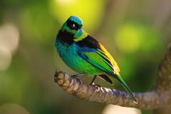 saíra-sete-cores (Tangara seledon) (Rod.T28) Tags: saira7cores greenheadedtanager birds birdphotography riodejaneiro brazil tropicalbirds colours colors green canon7dmarkii canon400mm28lusmii canonextender14xii