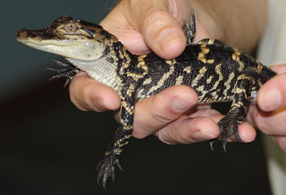 Baby American Alligator (explored)