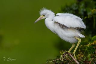 Little Blue Heron - Egretta caerulea   2018 - 1