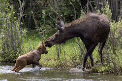 Moose and Calf Cross Clark's Fork (matthewschonert) Tags: moose montana beartooth mountains water crossing river calf cow mother baby wildlife nature yellowstone ynp gye swim swimming clarks fork wyoming pass explored in explore