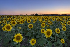 *Summer time @ Sunflower time* (Albert Wirtz @ Landscape and Nature Photography) Tags: sunflower sonnenblumen feld natur nature ackerbau landwirtschaft nutzpflanzen südeifel moseleifel eifelmosel eifel rheinlandpfalz rhinelandpalatinate deutschland germany allemagne albertwirtz yellow gelb bluehour blauestunde goldenhour goldenestunde twilight longexposure langzeitbelichtung summertime summer sommerzeit sommer bluesky blauerhimmel nikon d810 landschaft landscape paesaggi paysages campagne campagna campo flower blüten sonnenblumenfeld albertwirtzlandschaftsundnaturfotografie albertwirtzlandscapeandnaturephotography albertwirtzphotography paisaje dusk dämmerung sunset abendrot abendhimmel eveninglight eveningmood landscheid rhénaniepalatinat