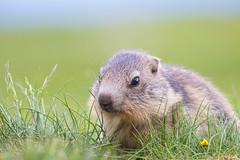 Cute baby marmot (Aicbon) Tags: verde mmarmota marmota marmot mammal mamifero animal animales wildlife naturaleza nature green cadí mountain pyrenees pirineos cadímoixeró serradelcadí bagà berga pirineus rutadelamarmota catalunya catalonia