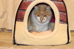 New beds are winners! (christineNZ2017) Tags: trooper tabby ginger catbed explored explore
