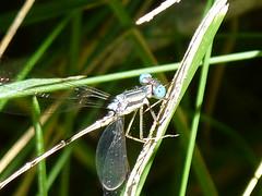 P1180985 SLENDER SPREADWING (birder2015 Toronto, Canada) Tags: slenderspreadwing damselfly odonate