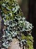 2018-05-05_S6122C_FosterFR_DxO_crop1 (Des (Australia)) Tags: pentax ks2 pentaxdfa100mmf28macrowr fosterflorareserve southgippsland victoria australia tree lichen