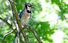 Blue Jay (Suzanham) Tags: bluejay bird passerine corvidae cyanocittacristata omnivores nature wildlife mississippi canonpowershotsx60hs starkville