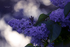 Lilac (mariola aga) Tags: plant bush flowers lilac spring light bokeh purple smell fragrance refreshing freshair hue coth alittlebeauty coth5 thegalaxy