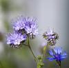 2 flowers (tamapix) Tags: flower bokeh blue purple green nature eos canon 5d mark ii 2 ef 300mm f4 l is usm
