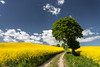 Lonely tree and rapeseed (PeterJot) Tags: 2017 cloudsky countryroad horizontal inbloom landscape nature outdoors panoramic poland pomorskieprovince scenic springtime summer sunlight agriculture beautiful crop day dirtroad field flower greencolor growth hill nopeople oilseed oilseedrape photography rural ruralscene singletree sky tree windingroad yellow