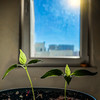 S8 Taylor II and S7 Gale, day 80 (Melissa Maples) Tags: antalya turkey türkiye asia 土耳其 apple iphone iphonex cameraphone square 11 sunny sun sunflare lensflare flare window thepepperproject plants planting dirt soil sprouts peppers seedlings