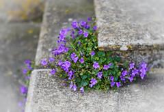 Campanula on the steps (judy dean) Tags: judydean 2018 campanula blue bells steps lensbaby