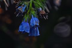 Blue II (anderswetterstam) Tags: flowers nature floral botanical blue garden park spring springtime freshness fragility changes
