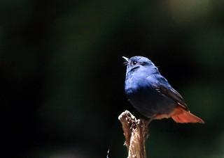 Plumbeous Water-Redstart (Rhyacornis fuliginosa)