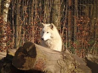 Hudson bay Wolf - Winter Sun