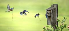 Eastern Bluebird Approaching Birdhouse (Pragmatic1111) Tags: easternbluebird bluebird nikon d850 400mmf28g blue green birdhouse honeysuckle spring nest fly flight feather sb910 landing approach oklahoma