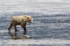 Coastal brown bear (spwasilla) Tags: clam lowtide ocean grizzly brownbear bear