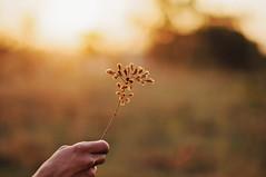 Sunset (anshu_si) Tags: sunset wild wildflower hand holding background