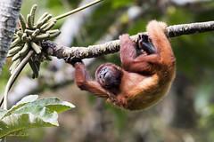 Red Howler Monkey (Alouatta seniculus) (Frank Shufelt) Tags: rio barbas redhowlermonkey alouattaseniculus aulladorcolorado monkey primates mammalia mammals animals wild nature parquenaturalbarbasbremen riobarbas filandia quindío colombia southamerica 20180627 2998 june2018