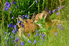Fox & Cub (Terry Angus) Tags: fox redfox foxcub cub young bluebells norden rochdale uk