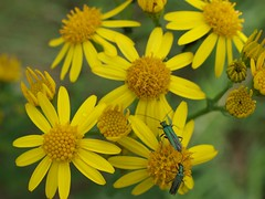 Grüne Scheinbockkäfer auf gelber Margerite (IS OZ Photo) Tags: isoz yellow insekt insects margeriten macro olympus zuiko 35mm flora fauna natura nature colorful colors scheinbockkäfer oedemeranobilis e420 pflanze plant bloom colourful dof depthoffield schärfentiefe green grün gelb wildlife ft fourthirds 43 oly dslr spiegelreflex 2011 summer sommer insekten insecte käfer beetle brilliant composition