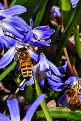 Spring Flowers with Honey Bee (thatSandygirl) Tags: outdoors nature wildlife insect pollinator bee flyinginsect bug blue green flower spring honey pollen