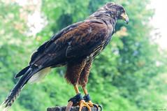 POIANA    ----    BUZZARD (cune1) Tags: uccelli birds animali animals rapaci birdsofprey natura nature italia parcodelticino