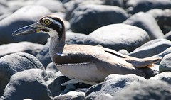 Beach Thick-knee (3) (Richard Collier - Wildlife and Travel Photography) Tags: wildlife naturalhistory nature australia birds australianbirds beachthickknee