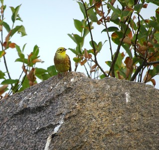 Yellowhammer on the rocks