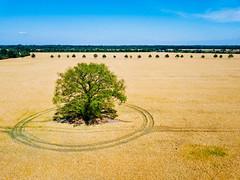 Tree with circular patterns in the middle of a field / Baum mit kreisförmigen Mustern mitten in einem Feld