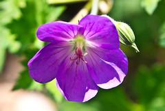 Blüte / Blossom # 4 (schreibtnix on 'n off) Tags: deutschland germany bergischgladbach frühling springtime pflanzen plants blüte blossom storchschnabel storksbill geraniummagnificum nahaufnahme closeup olympuse5 schreibtnix