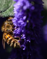 Rimlit honey bee on lavender (PChamaeleoMH) Tags: garden home honeybees insects lavender macro