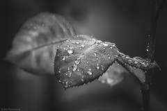 A girl's best friend? (Anthony P.26) Tags: bedfordshire category england flora luton places canon70d sigma105mmmacro canon macro macrodreams blackandwhite bw whiteandblack mono monochrome droplets drops rain summer leaf plant narrowdepthoffield dof closeup closefocus jewels diamonds outdoor