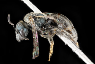 Lasioglossum tamiamense, F, side, Florida, St. Johns County_2013-03-07-15.01