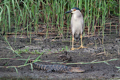 Black-crowned Night Heron & American Alligator (norm's f-stop) Tags: anahuac texas unitedstates us