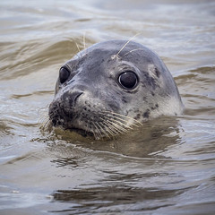 Curious seal (Gnome Girl!) Tags: northnorfolkdistrict england unitedkingdom gb seal blakeneypoint blakeneypointnationalnaturereserve cute curious summer greyseal sealpup