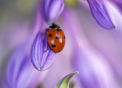 Ladybug (agnieszka.a.morawska) Tags: dof macro bokeh bokehlicious bkhq beyondbokeh helios44m helios summer violet garden insect biedronka ladybird ladybug