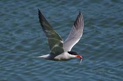 IMGP0775 Common Tern