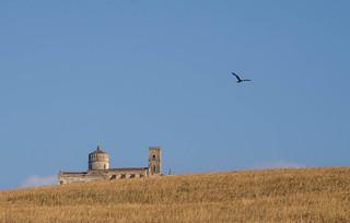 Nibbio Reale - Red Kite (Milvus milvus )