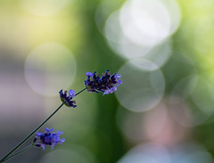 lavender (Danyel B. Photography) Tags: lavender lavendel bubble bokeh meyer görlitz orestegor flower blossom blume blüte petal nature