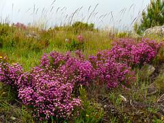 Pedras Lavradas (António José Rocha) Tags: portugal beirabaixa pedraslavradas flores floressilvestres cores beleza campo