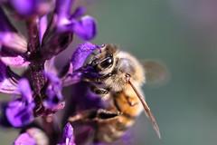 Purple time (stellagrimsdale) Tags: bee nectar eye macro insect purple flower animal bloom
