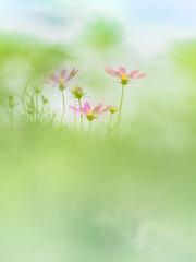 Summer Cosmos (Tomo M) Tags: cosmos summer bokeh blur green pastel soft dreamy
