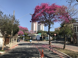 The pink trumpet trees, Tijucussu Ave. bikeway (winter 27ºC/80ºF), São Caetano do Sul, SP,  Brazil.